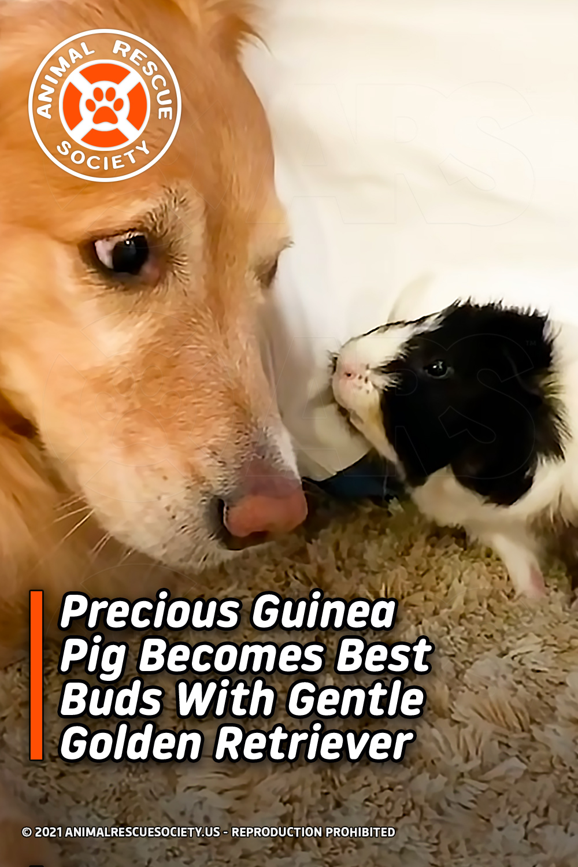 Precious Guinea Pig Becomes Best Buds With Gentle Golden Retriever