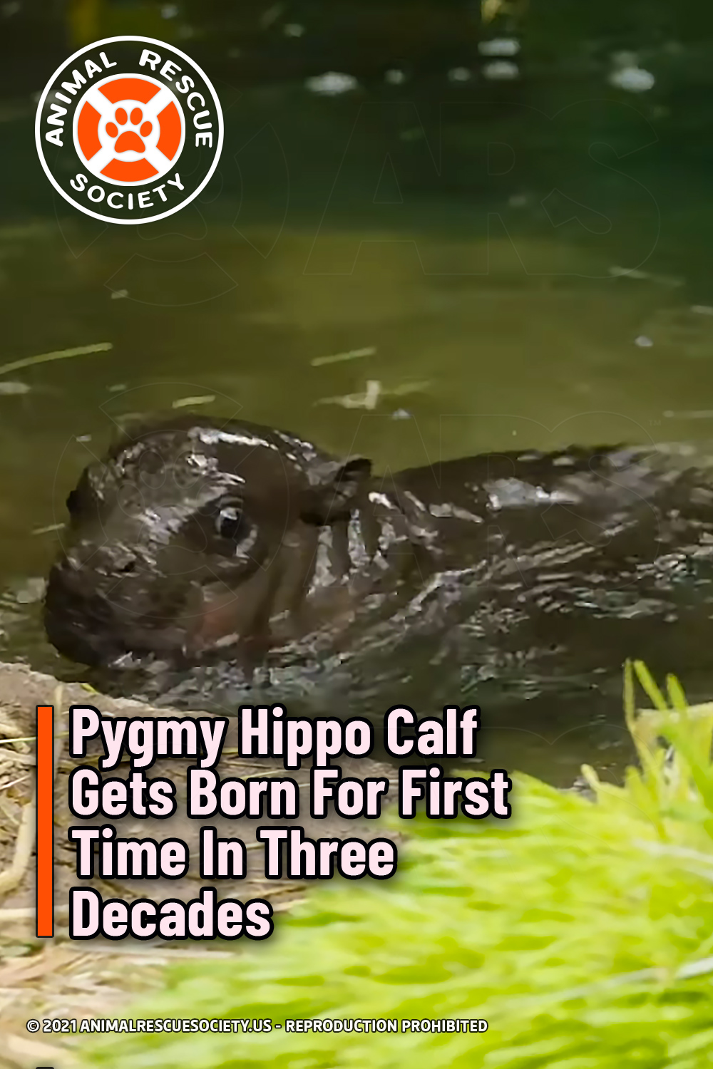 Pygmy Hippo Calf Gets Born For First Time In Three Decades