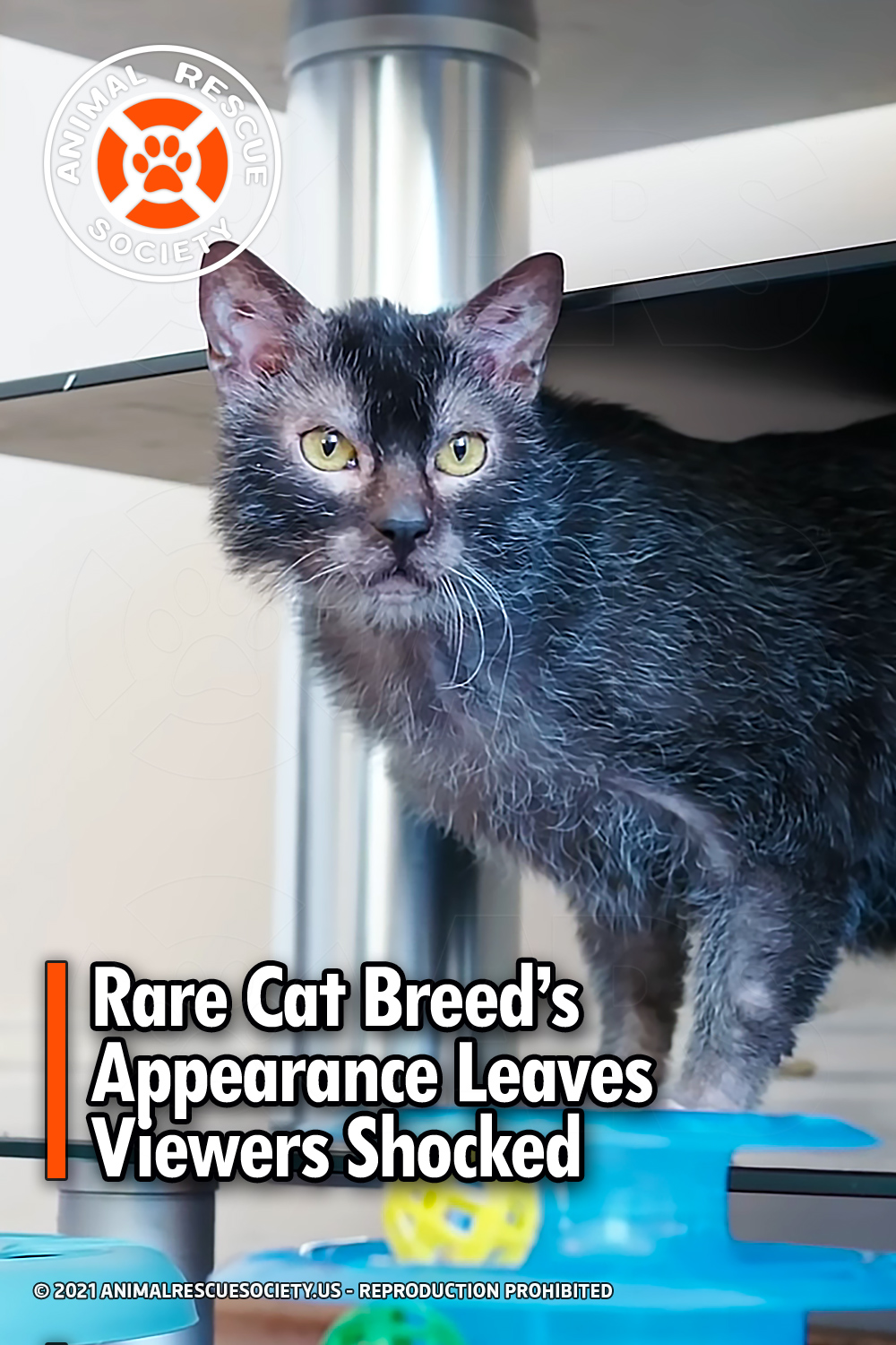 Rare Cat Breed's Appearance Leaves Viewers Shocked
