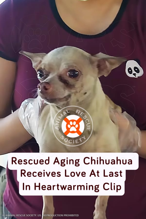 Rescued Aging Chihuahua Receives Love At Last In Heartwarming Clip