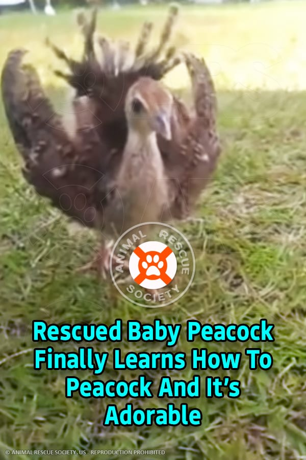Rescued Baby Peacock Finally Learns How To Peacock And It's Adorable