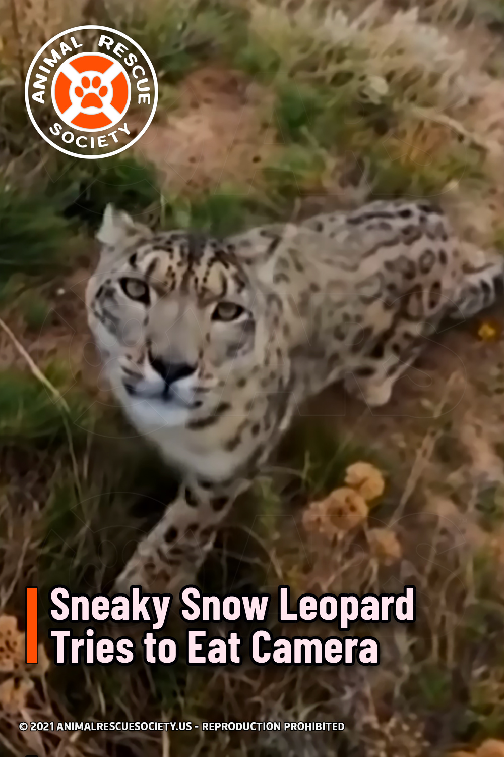 Sneaky Snow Leopard Tries to Eat Camera