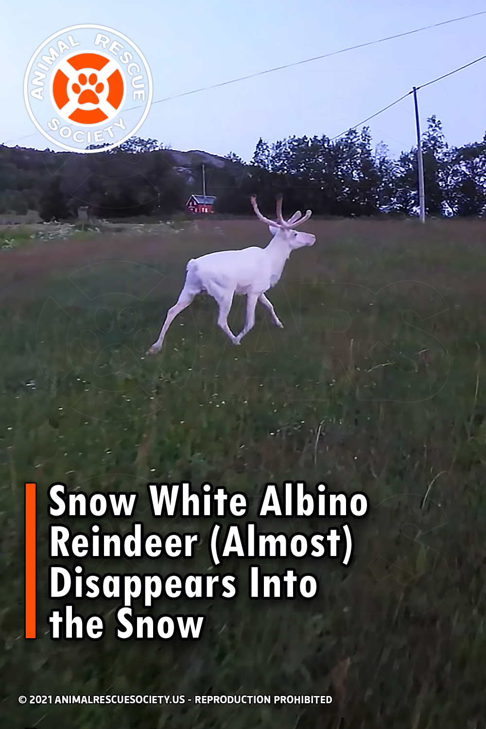 Snow White Albino Reindeer (Almost) Disappears Into the Snow