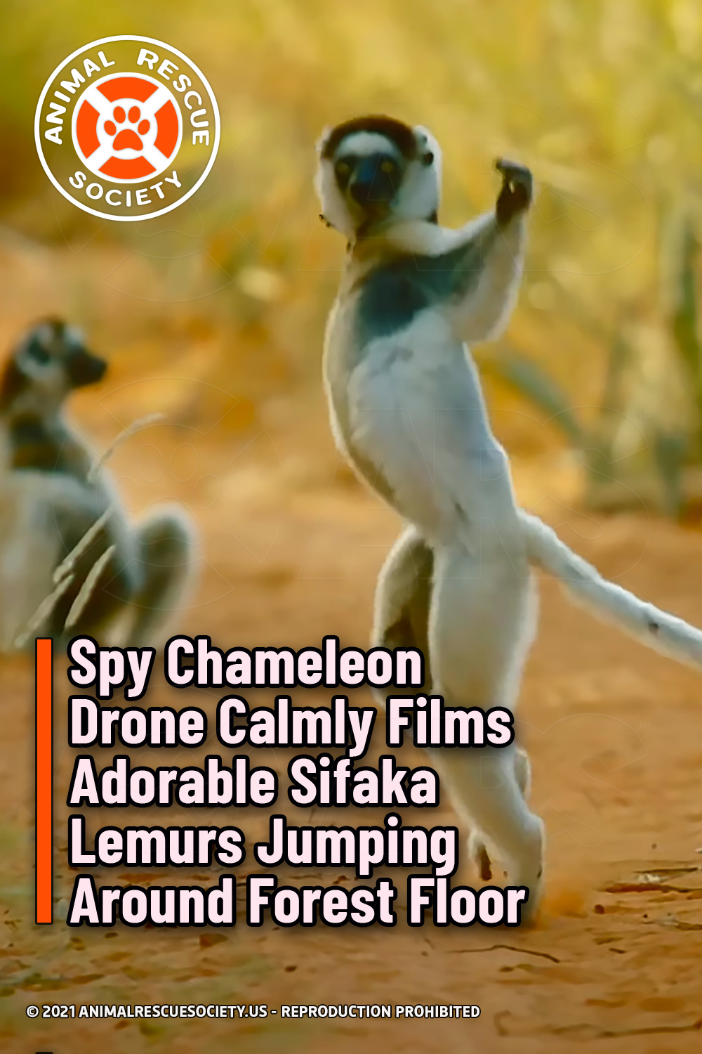 Spy Chameleon Drone Calmly Films Adorable Sifaka Lemurs Jumping Around Forest Floor