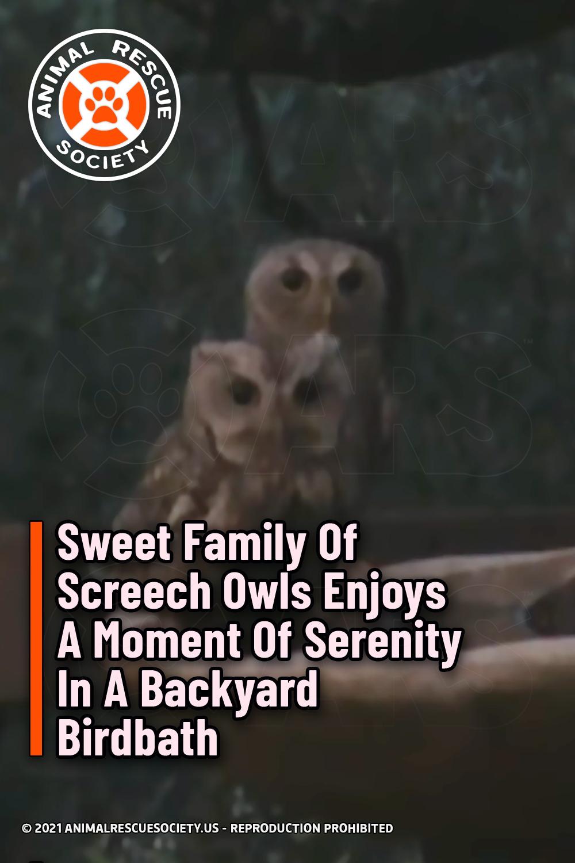 Sweet Family Of Screech Owls Enjoys A Moment Of Serenity In A Backyard Birdbath