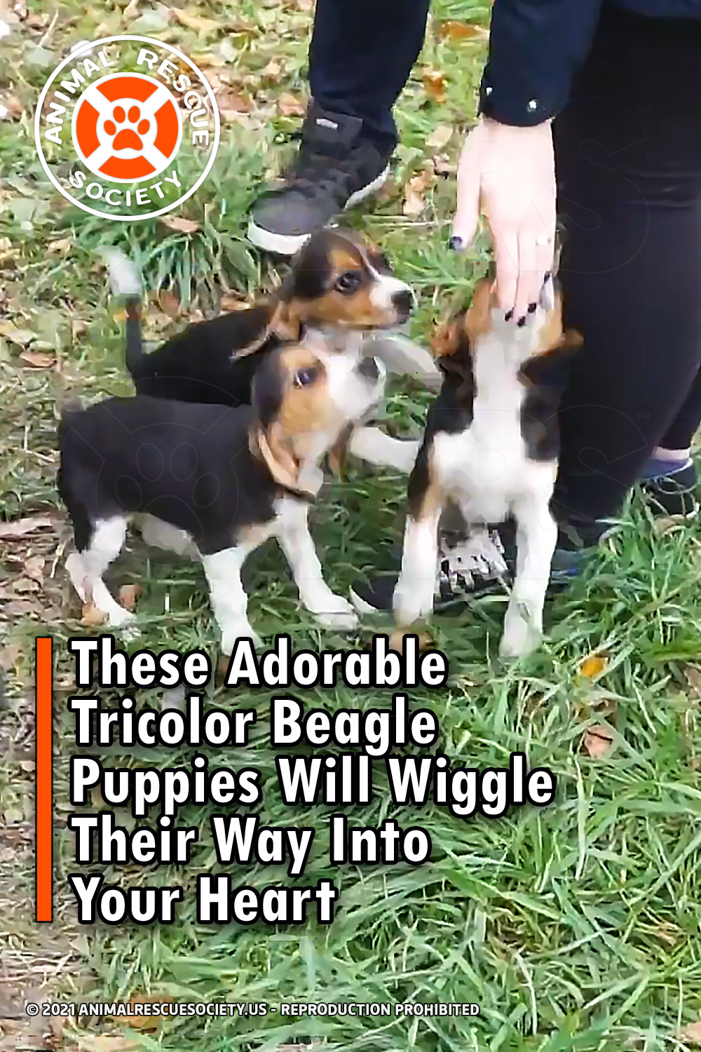 These Adorable Tricolor Beagle Puppies Will Wiggle Their Way Into Your Heart