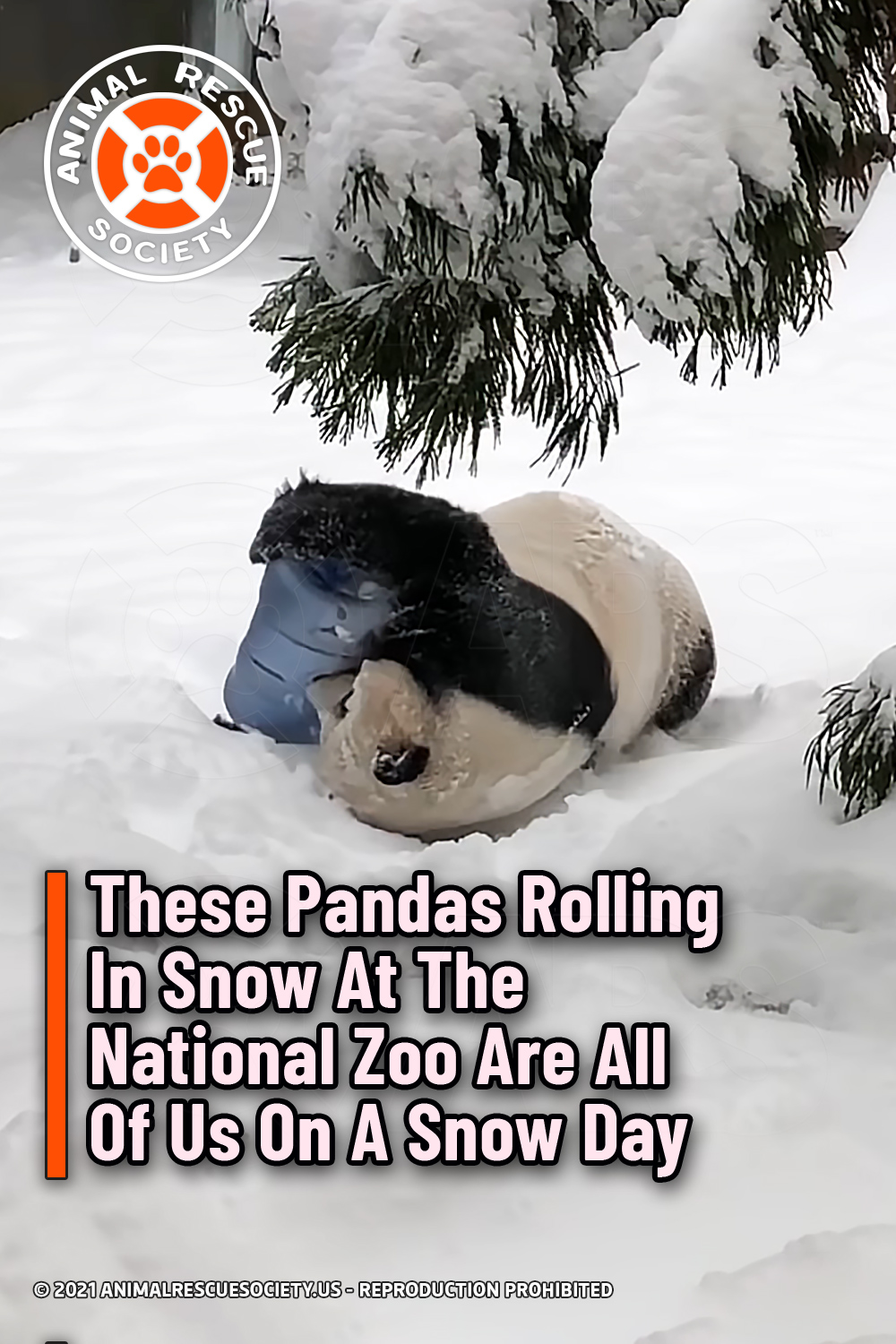 These Pandas Rolling In Snow At The National Zoo Are All Of Us On A Snow Day