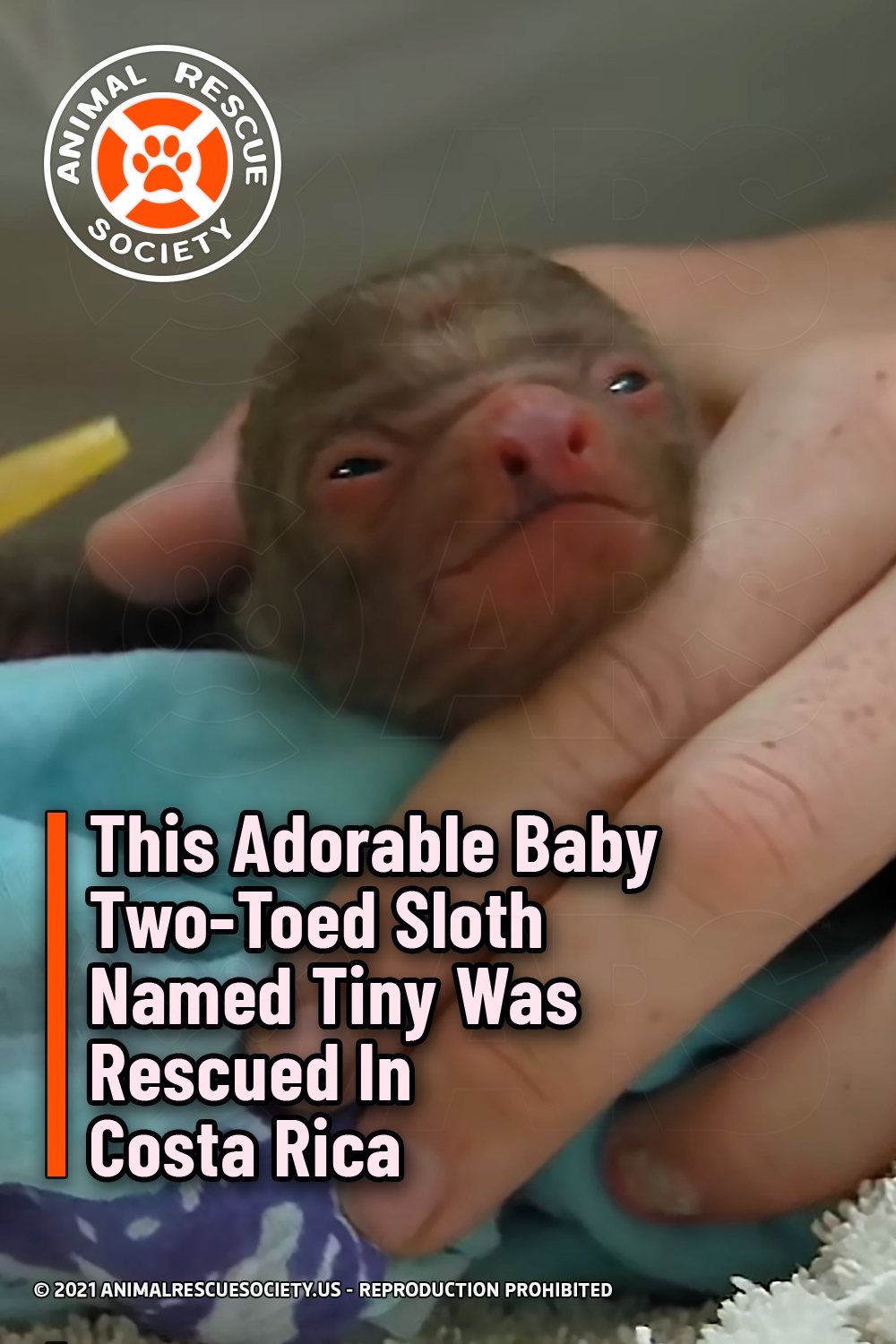 This Adorable Baby Two-Toed Sloth Named Tiny Was Rescued In Costa Rica