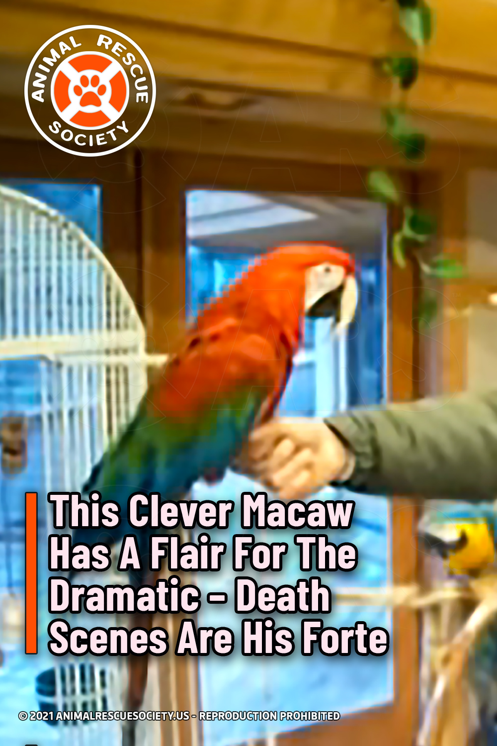 This Clever Macaw Has A Flair For The Dramatic – Death Scenes Are His Forte