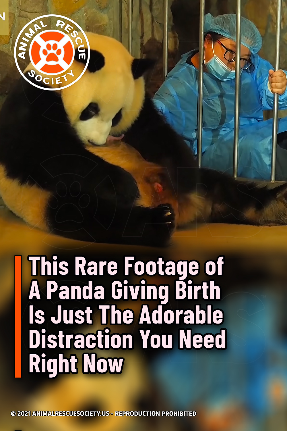 This Rare Footage of A Panda Giving Birth Is Just The Adorable Distraction You Need Right Now