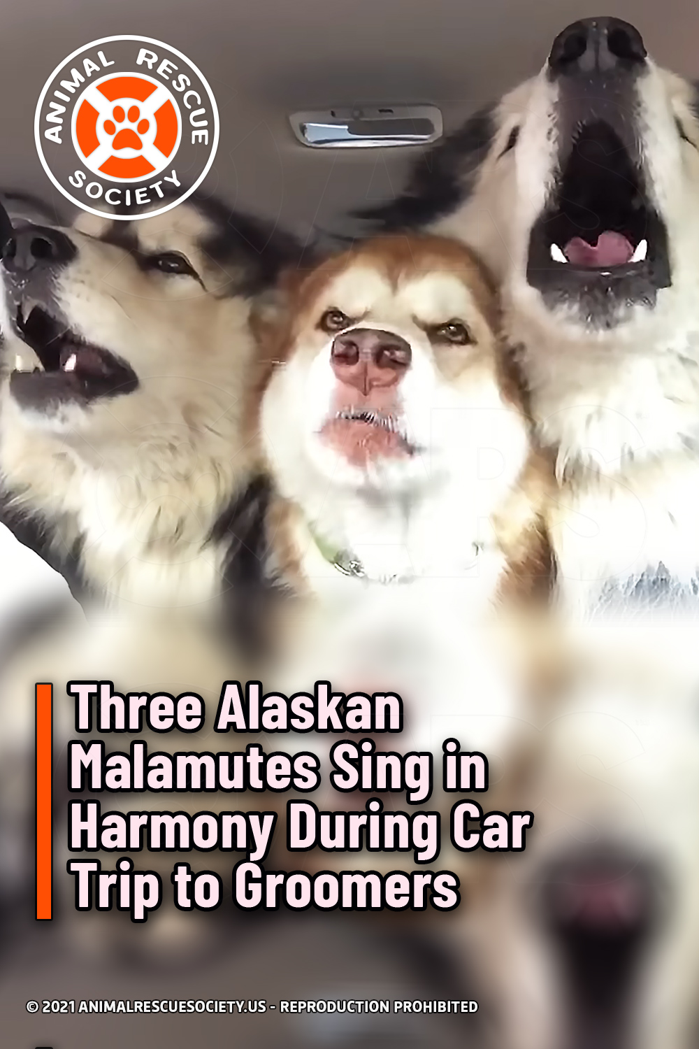 Three Alaskan Malamutes Sing in Harmony During Car Trip to Groomers
