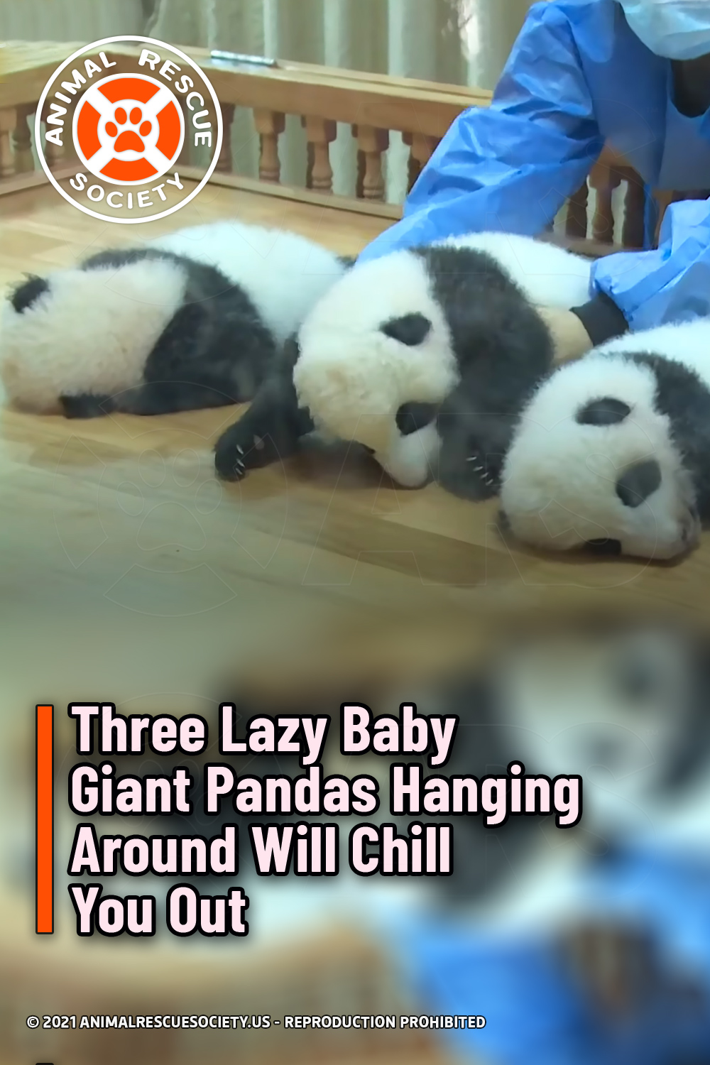 Three Lazy Baby Giant Pandas Hanging Around Will Chill You Out