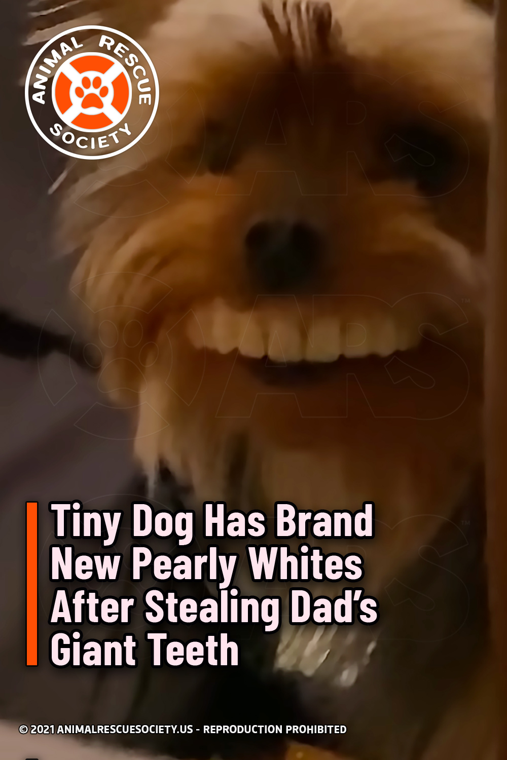 Tiny Dog Has Brand New Pearly Whites After Stealing Dad's Giant Teeth