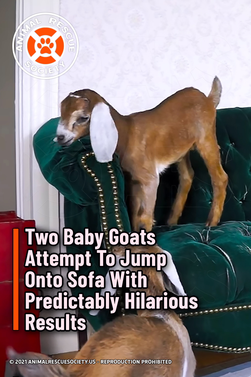 Two Baby Goats Attempt To Jump Onto Sofa With Predictably Hilarious Results