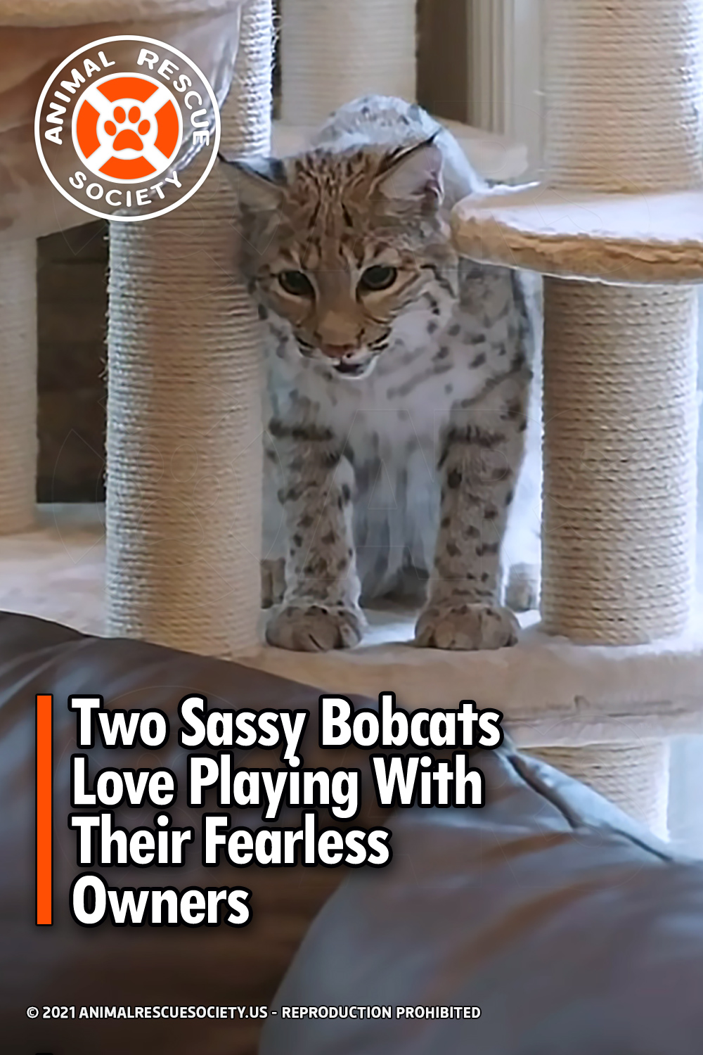 Two Sassy Bobcats Love Playing With Their Fearless Owners