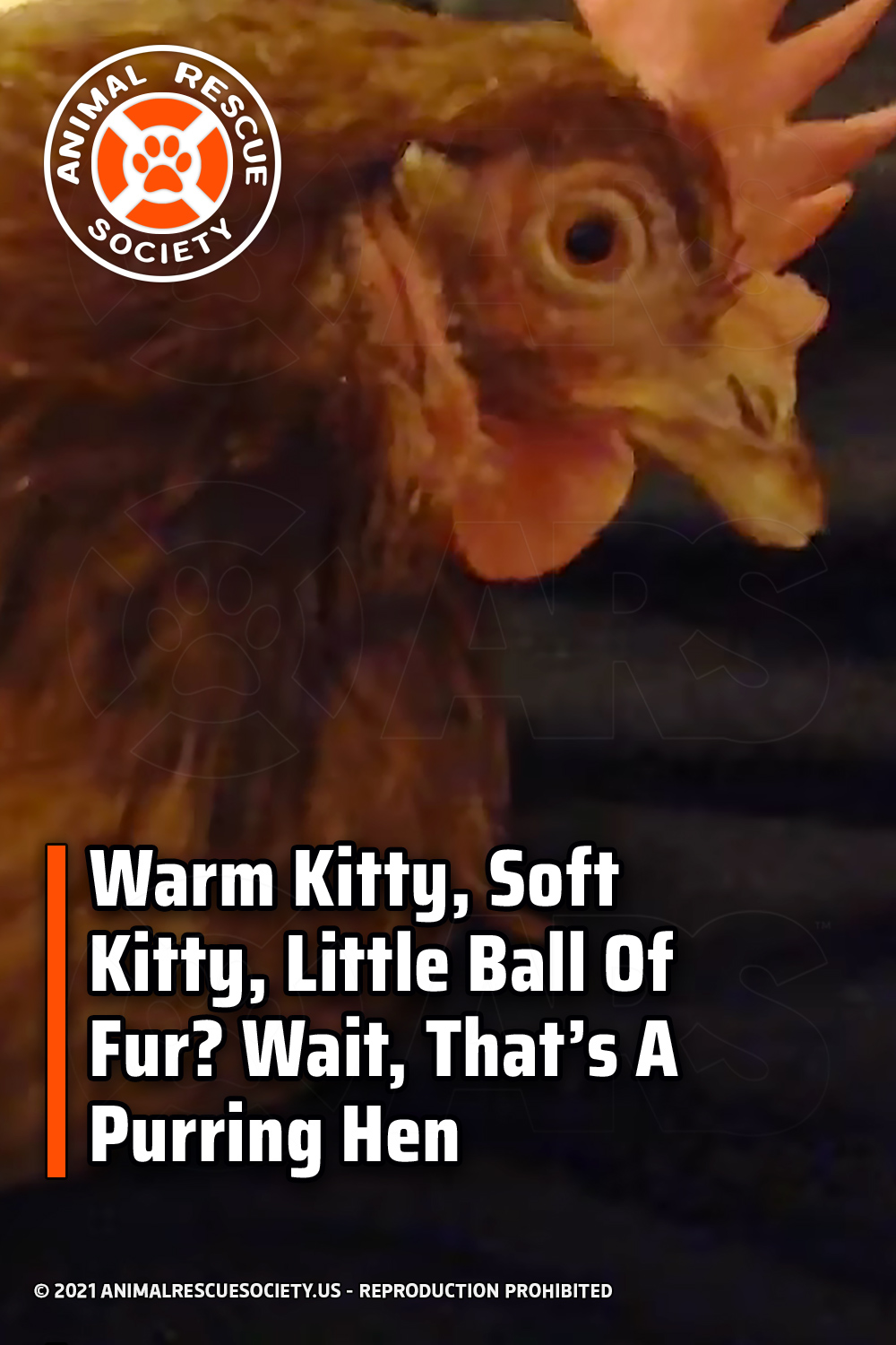 Warm Kitty, Soft Kitty, Little Ball Of Fur? Wait, That's A Purring Hen