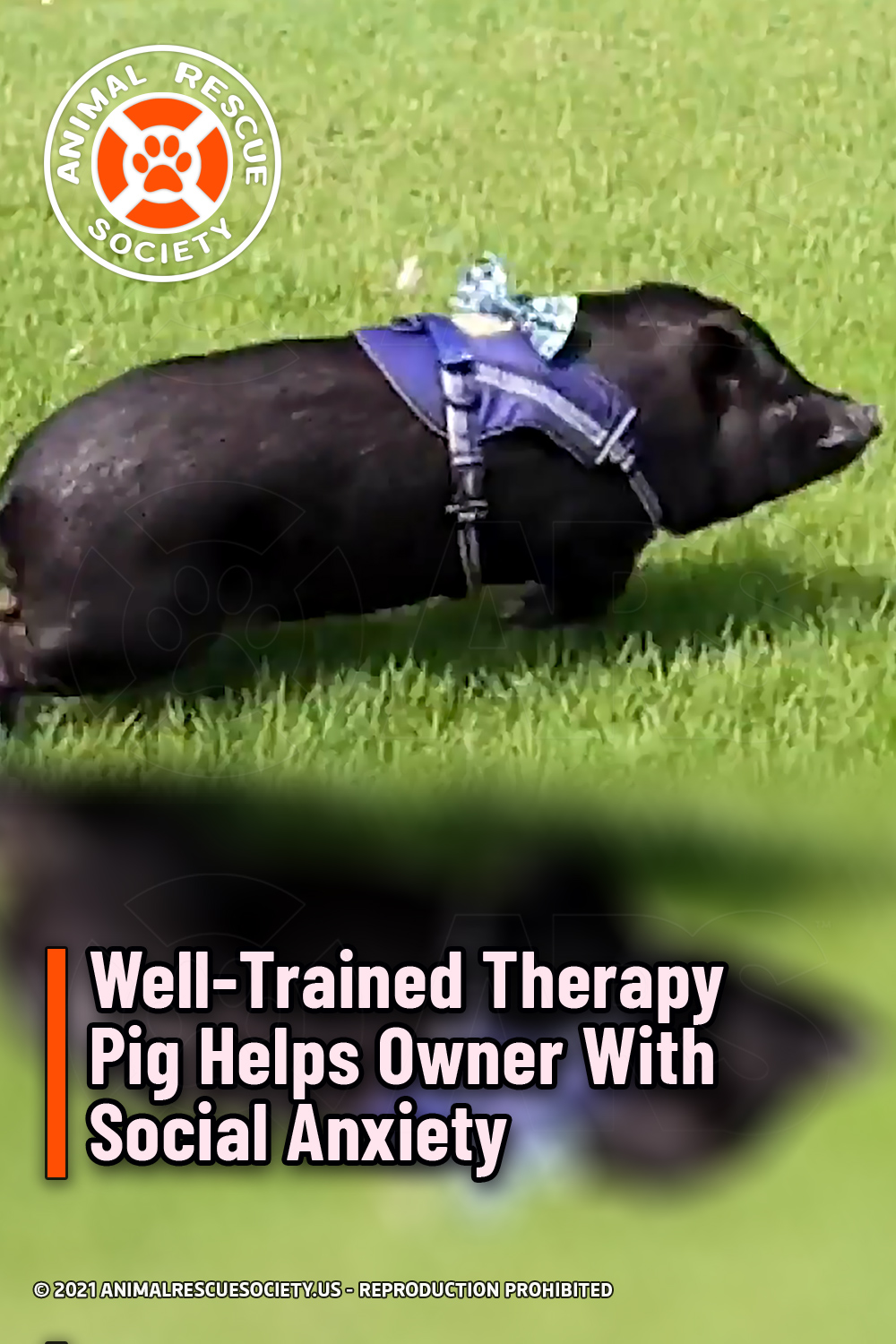 Well-Trained Therapy Pig Helps Owner With Social Anxiety