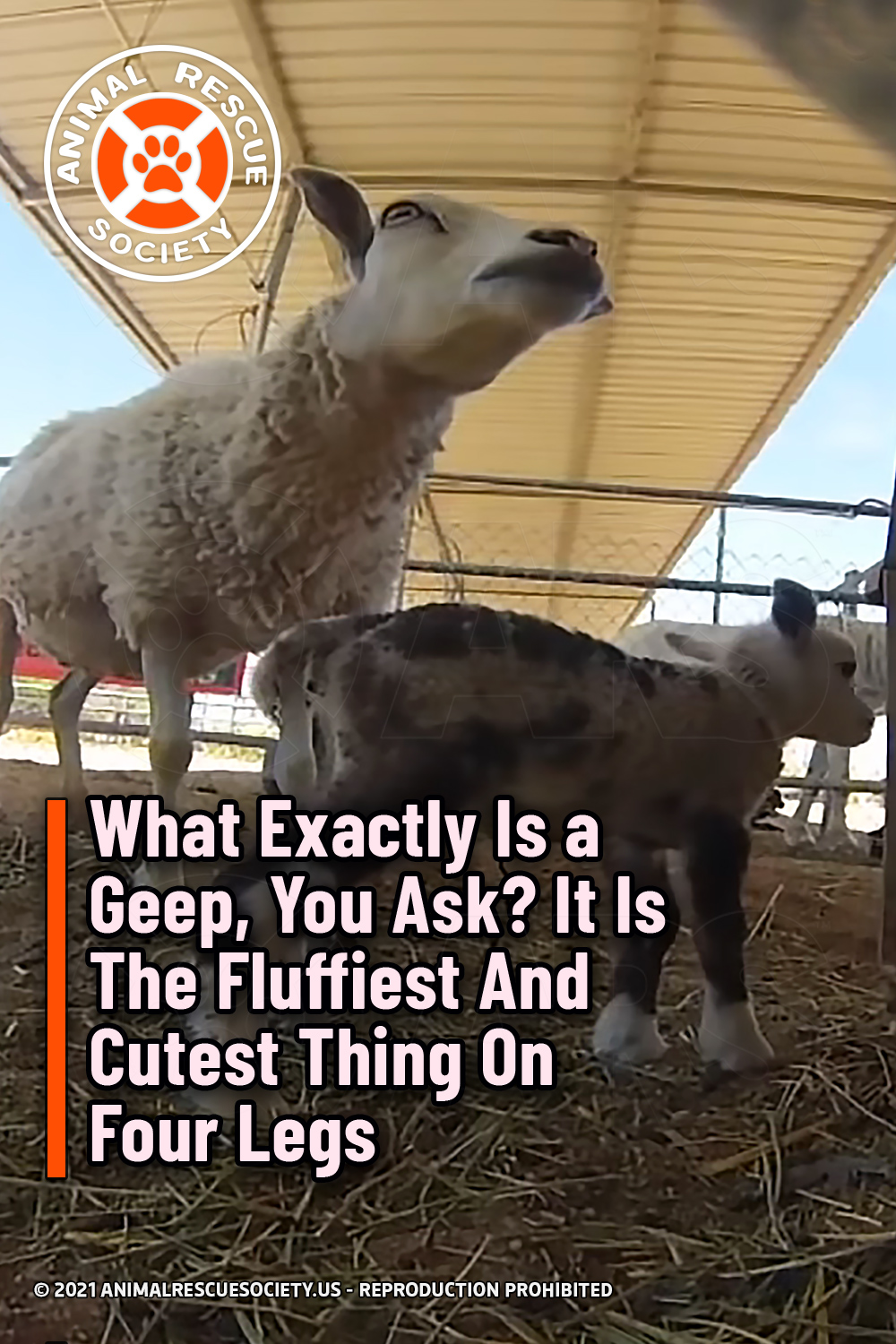 What Exactly Is a Geep, You Ask? It Is The Fluffiest And Cutest Thing On Four Legs