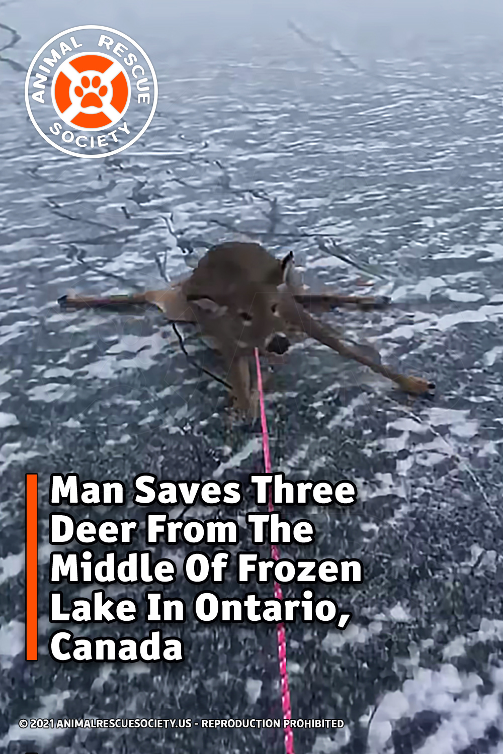 Man Saves Three Deer From The Middle Of Frozen Lake In Ontario, Canada