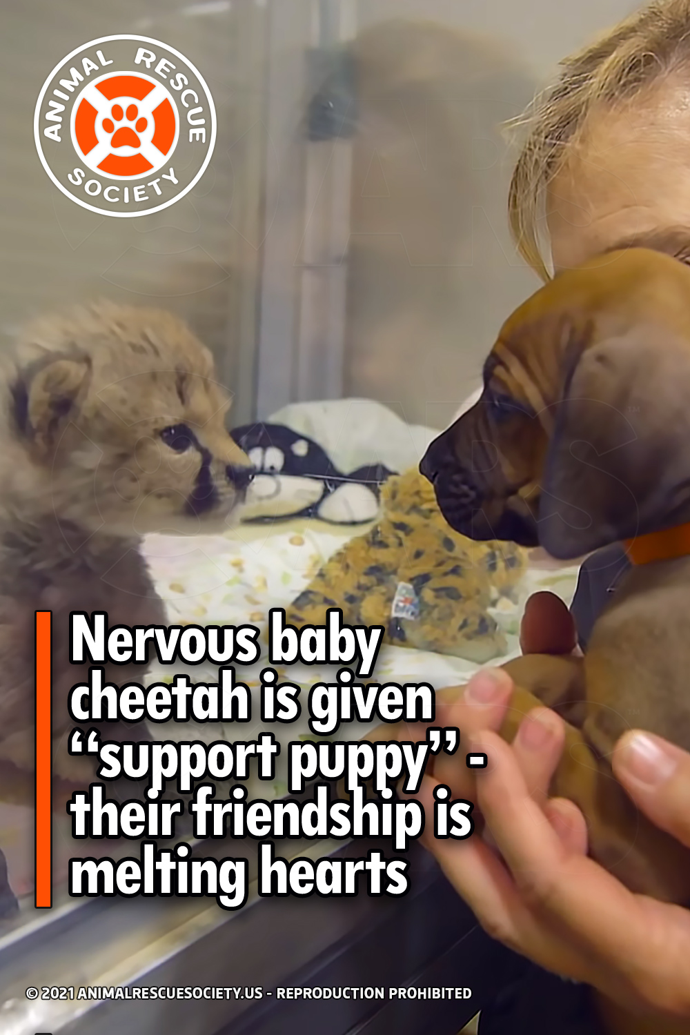 """Nervous baby cheetah is given """"support puppy"""" - their friendship is melting hearts"""