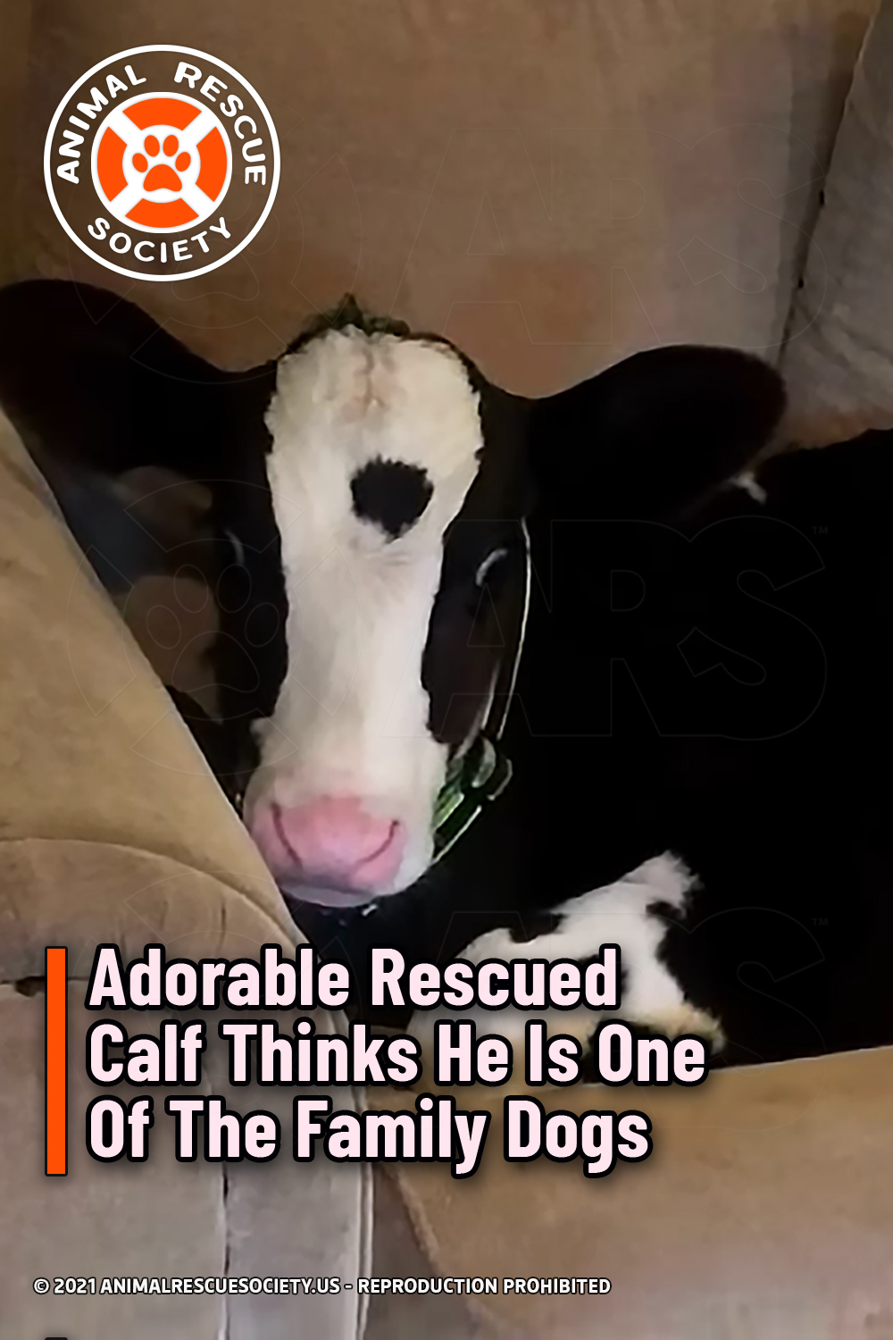 Adorable Rescued Calf Thinks He Is One Of The Family Dogs