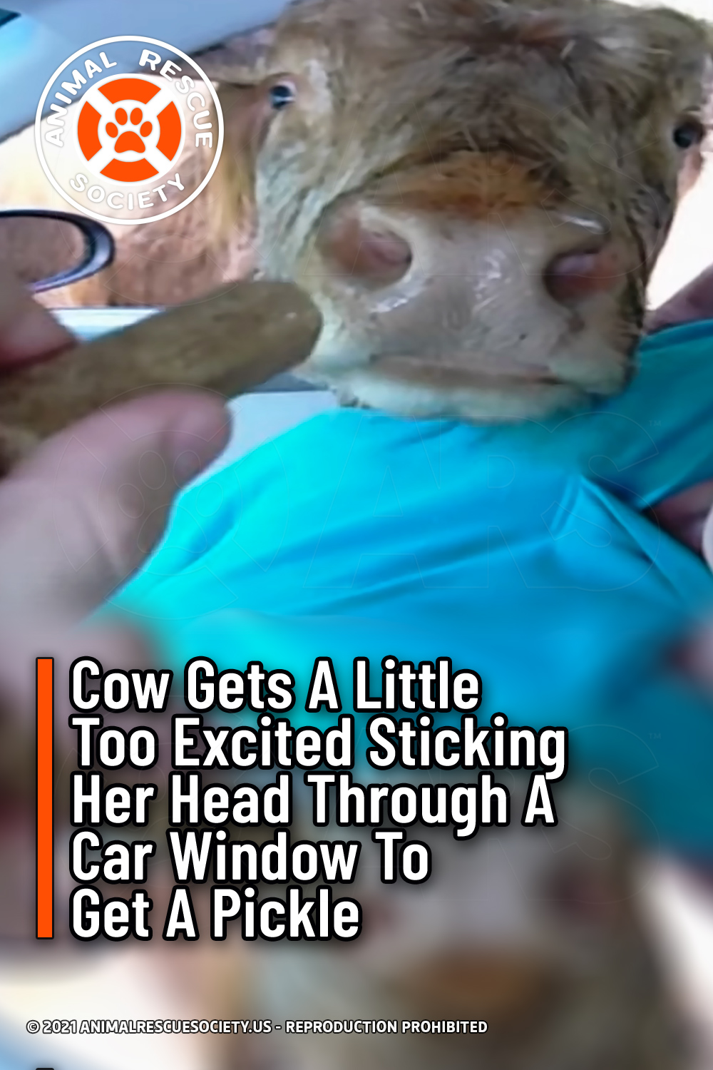 Cow Gets A Little Too Excited Sticking Her Head Through A Car Window To Get A Pickle