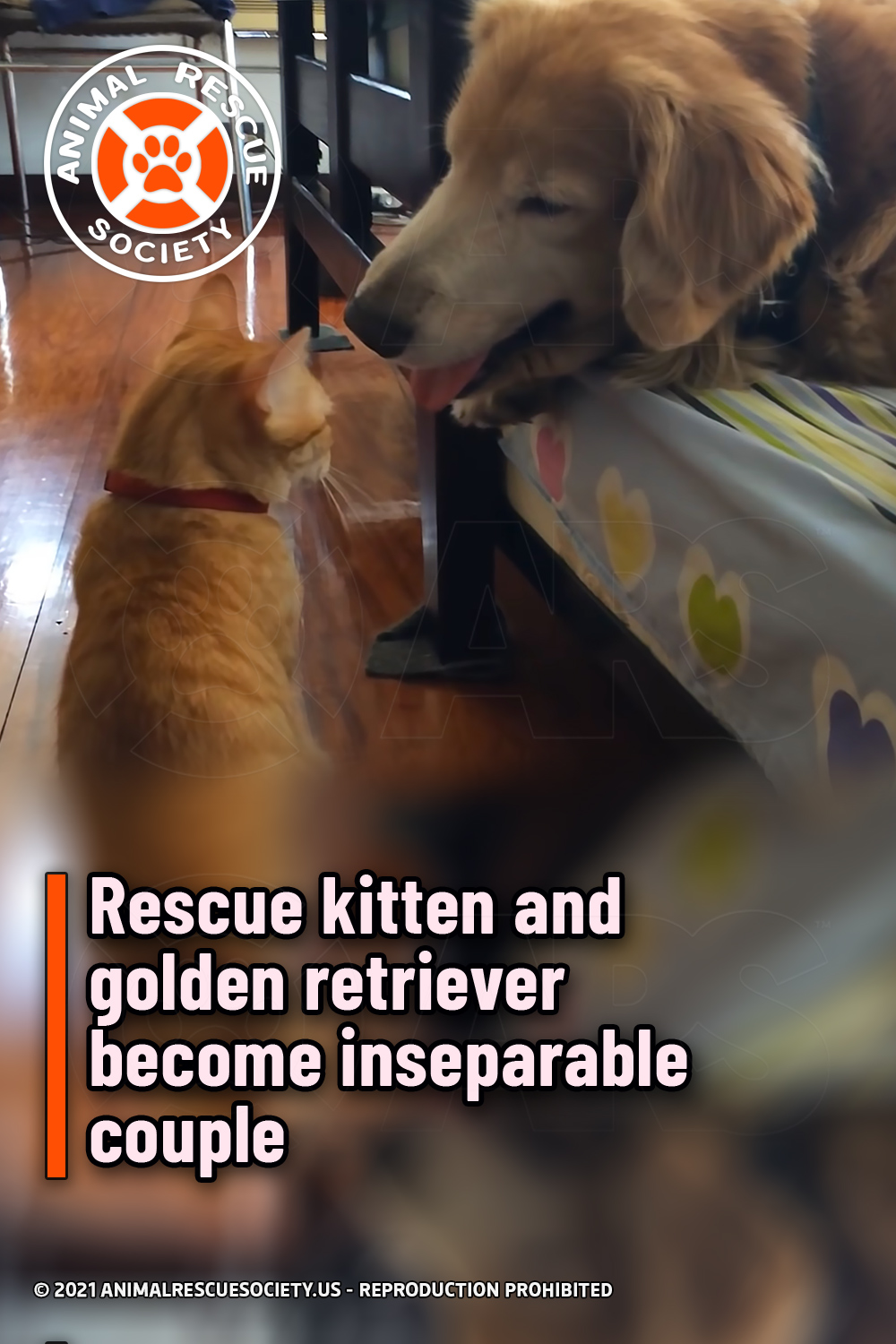 Rescue kitten and golden retriever become inseparable couple