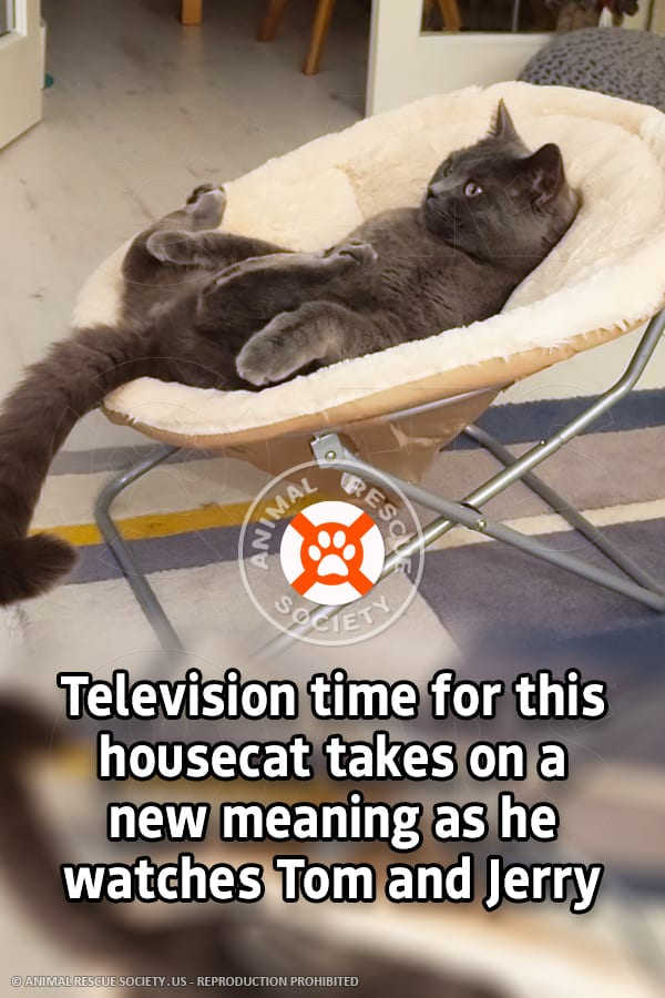 Television time for this housecat takes on a new meaning as he watches Tom and Jerry