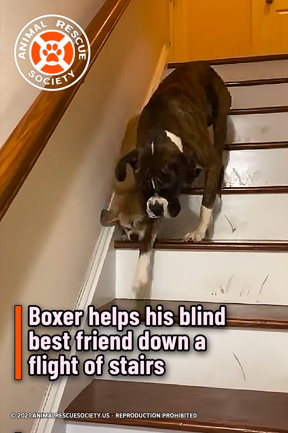 Boxer helps his blind best friend down a flight of stairs