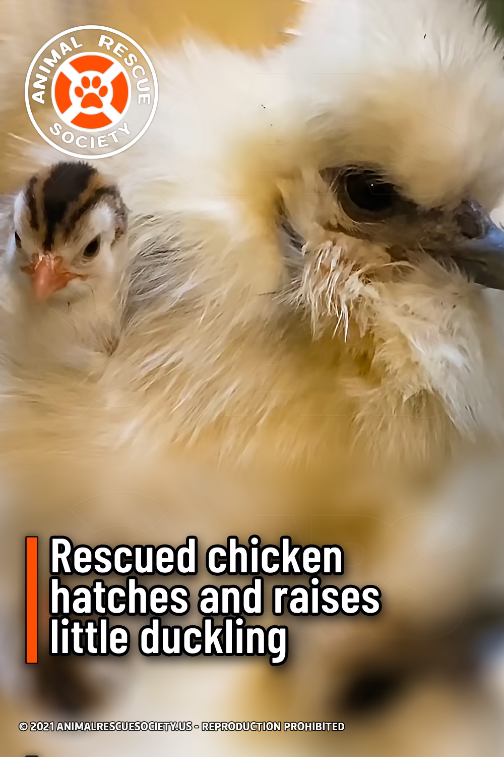 Rescued chicken hatches and raises little duckling