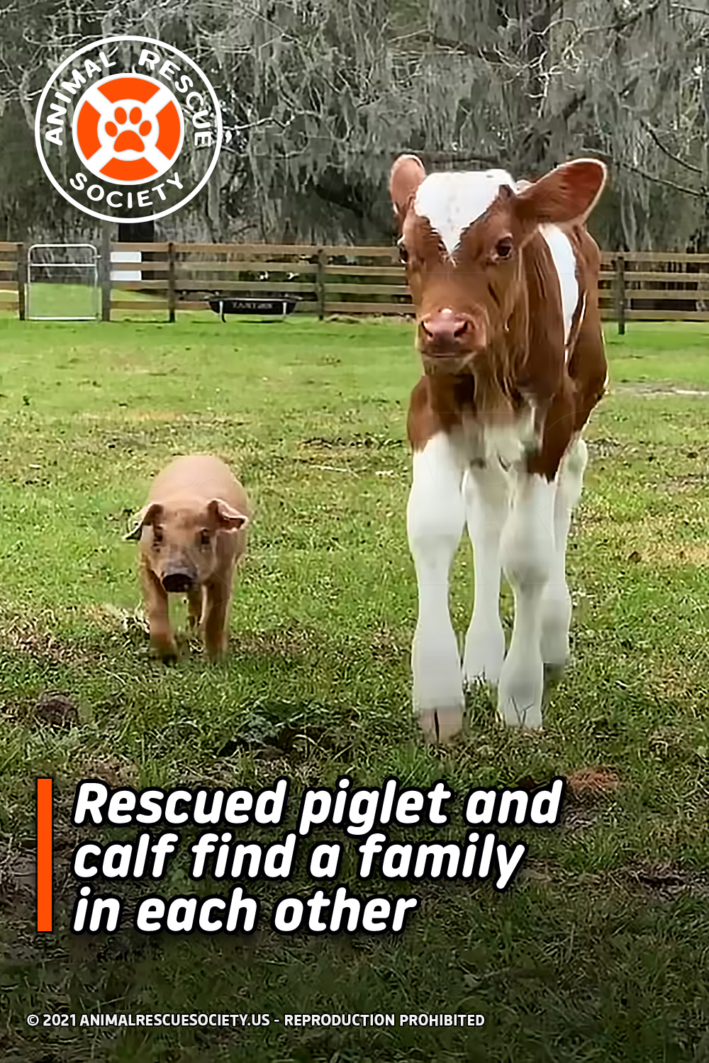 Rescued piglet and calf find a family in each other