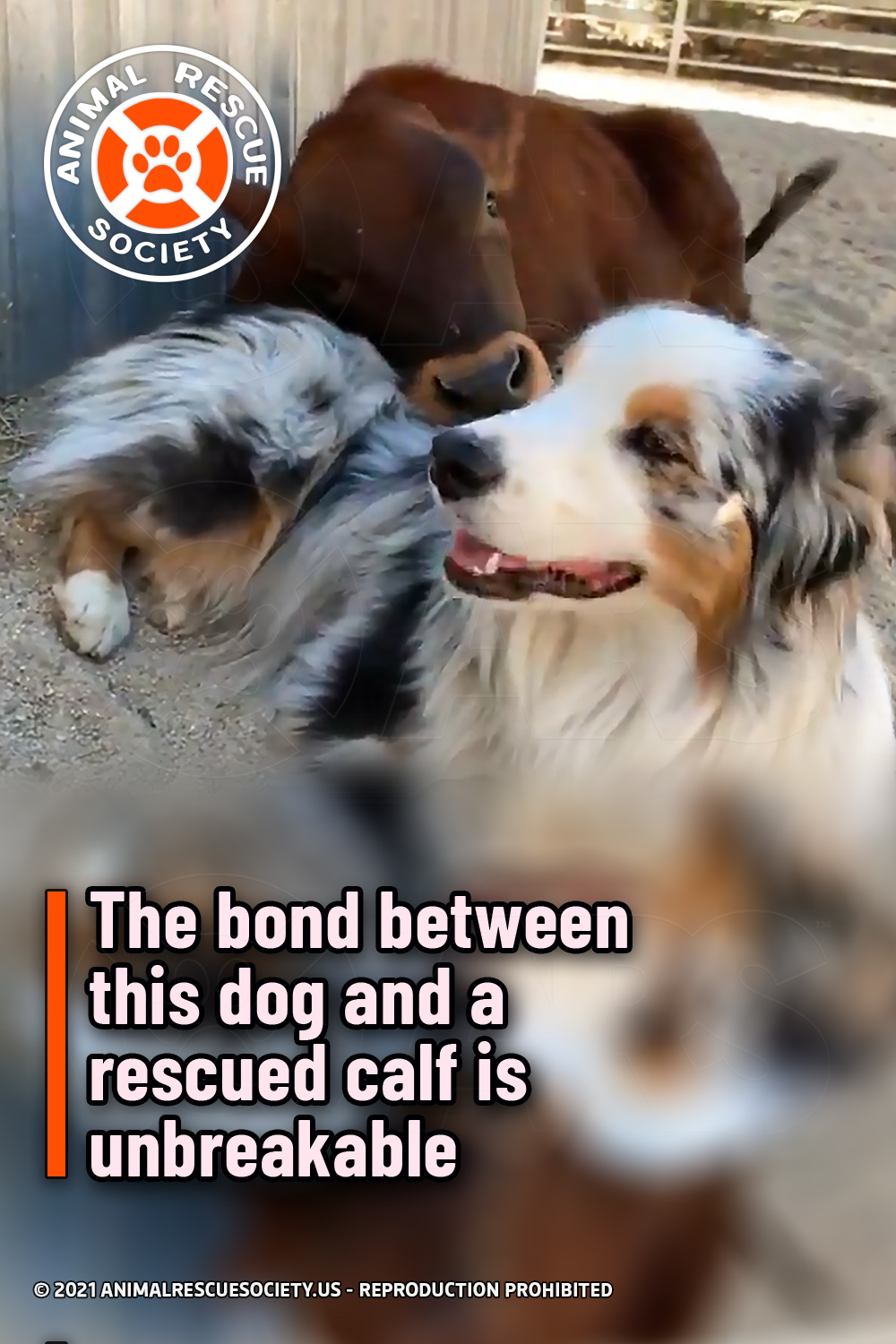 The bond between this dog and a rescued calf is unbreakable
