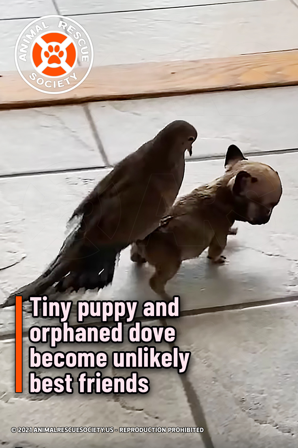 Tiny puppy and orphaned dove become unlikely best friends