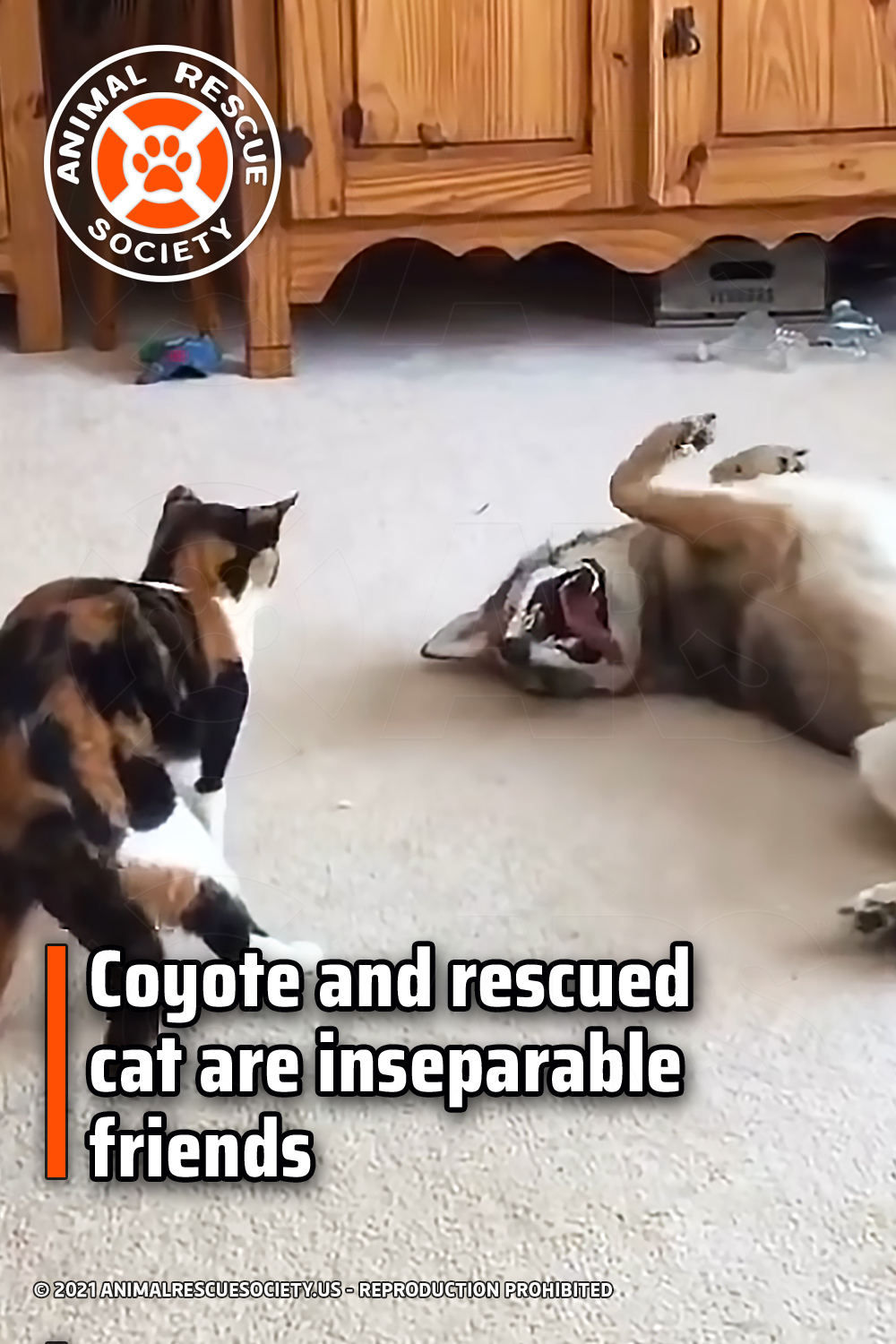 Coyote and rescued cat are inseparable friends