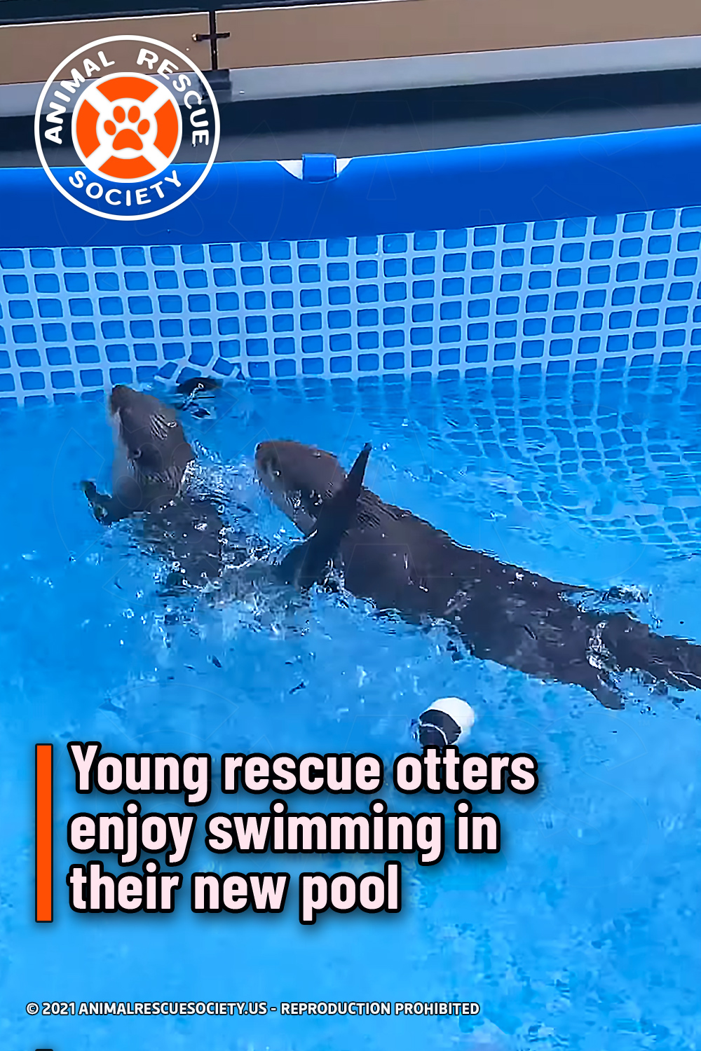 Young rescue otters enjoy swimming in their new pool