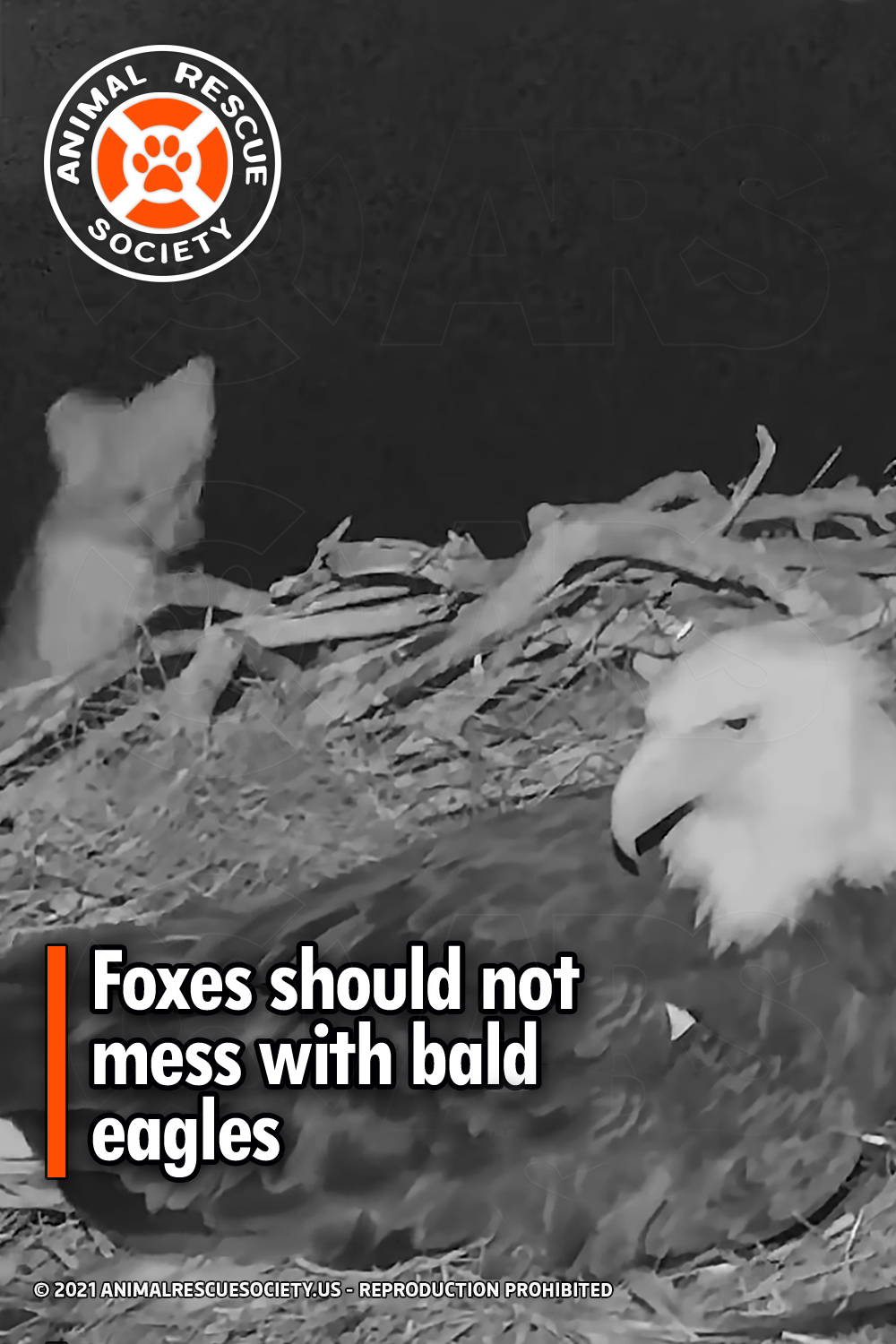 Foxes should not mess with bald eagles