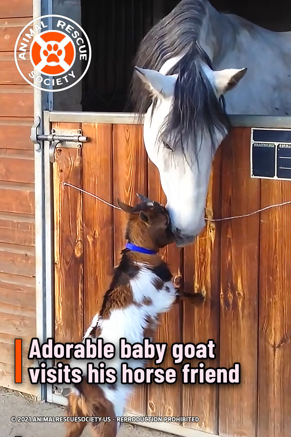 Adorable baby goat visits his horse friend