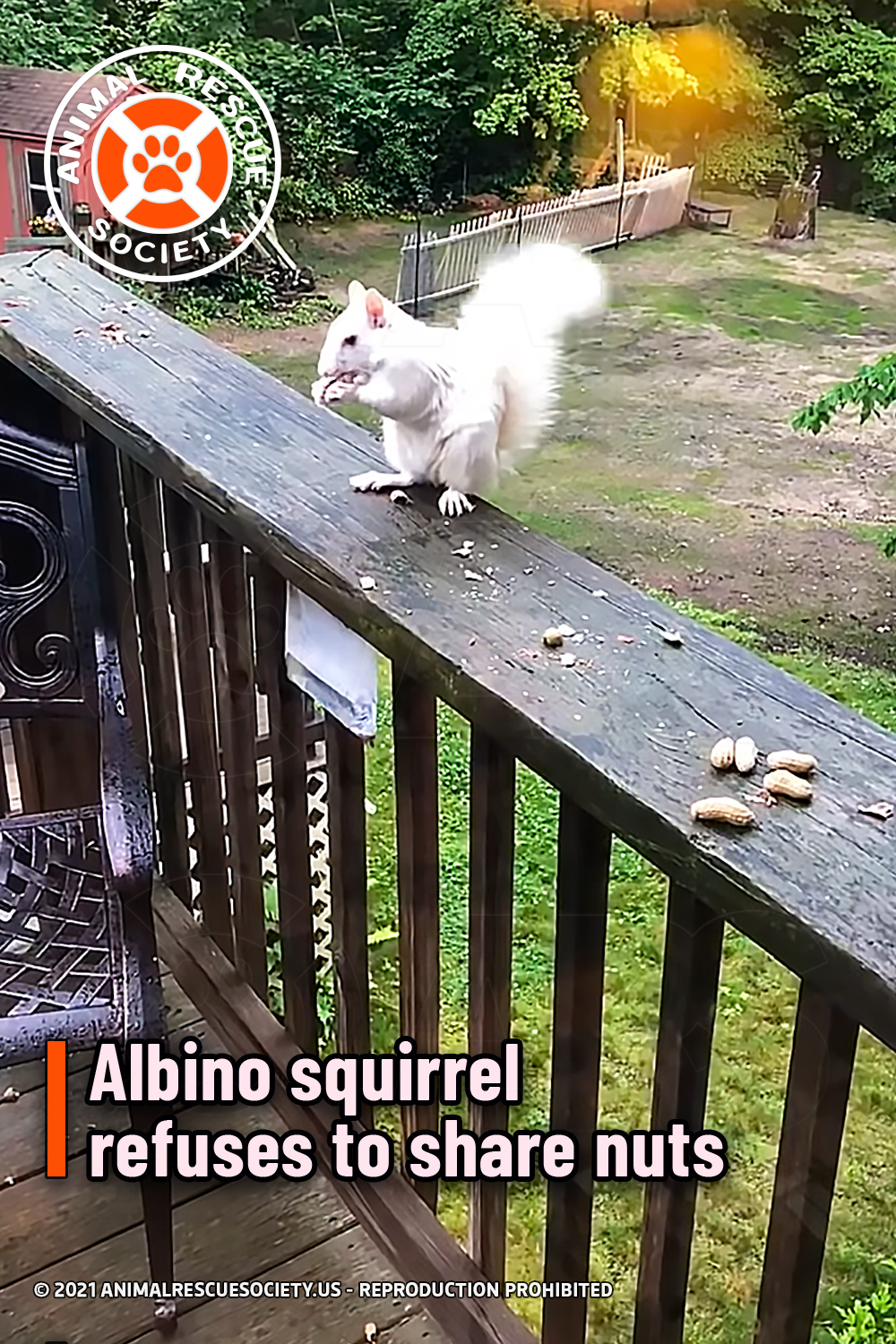 Albino squirrel refuses to share nuts