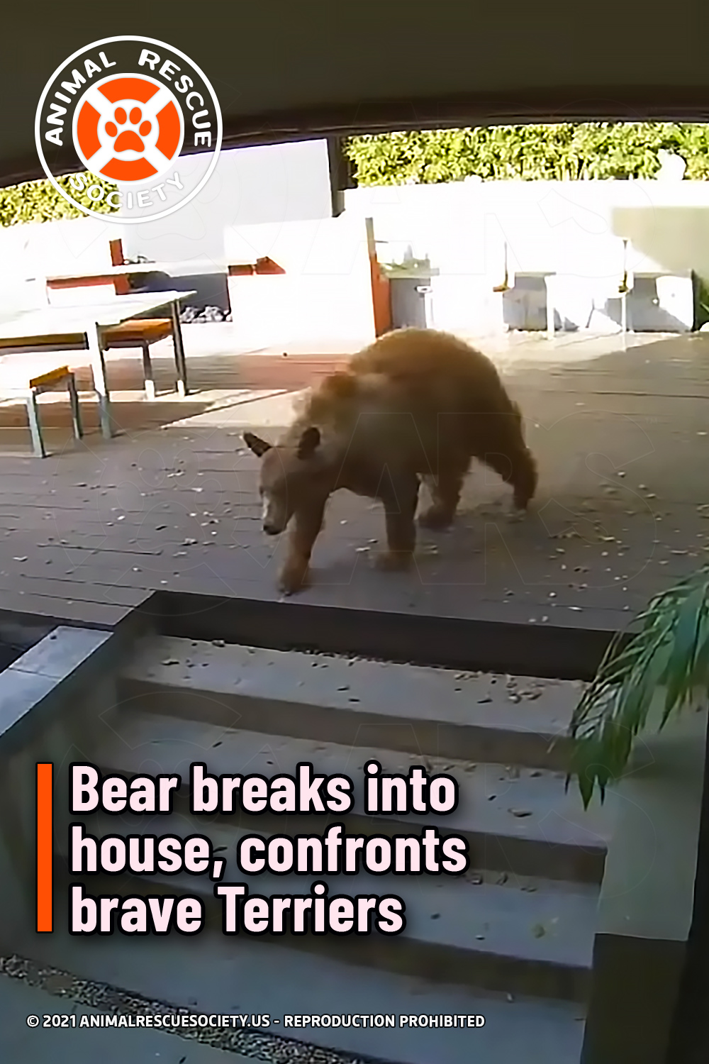 Bear breaks into house, confronts brave Terriers