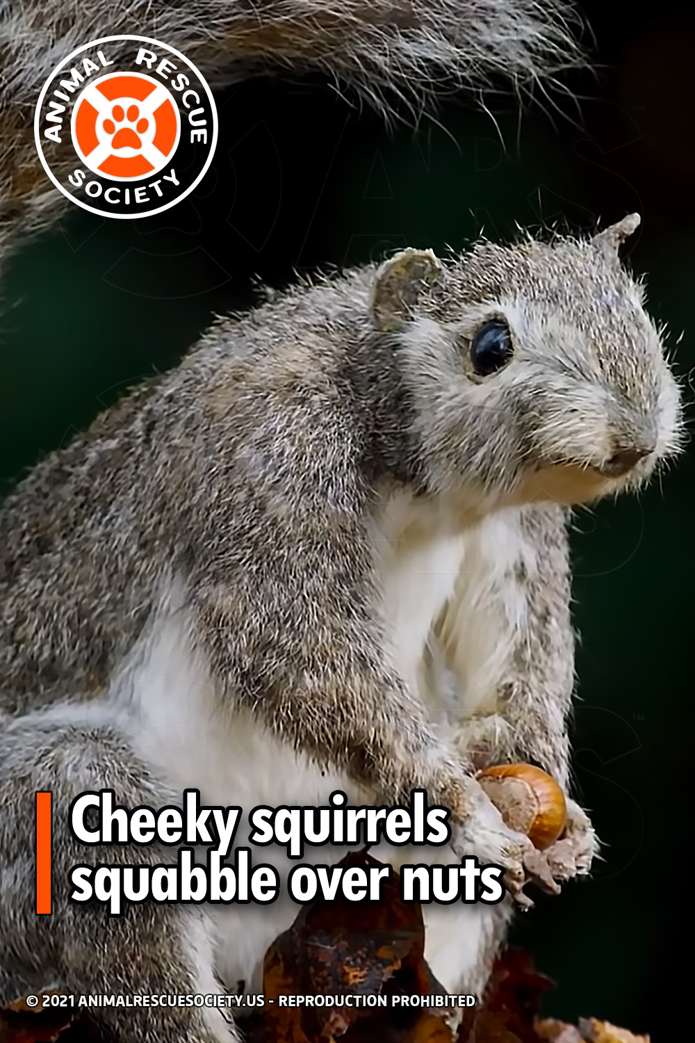 Cheeky squirrels squabble over nuts
