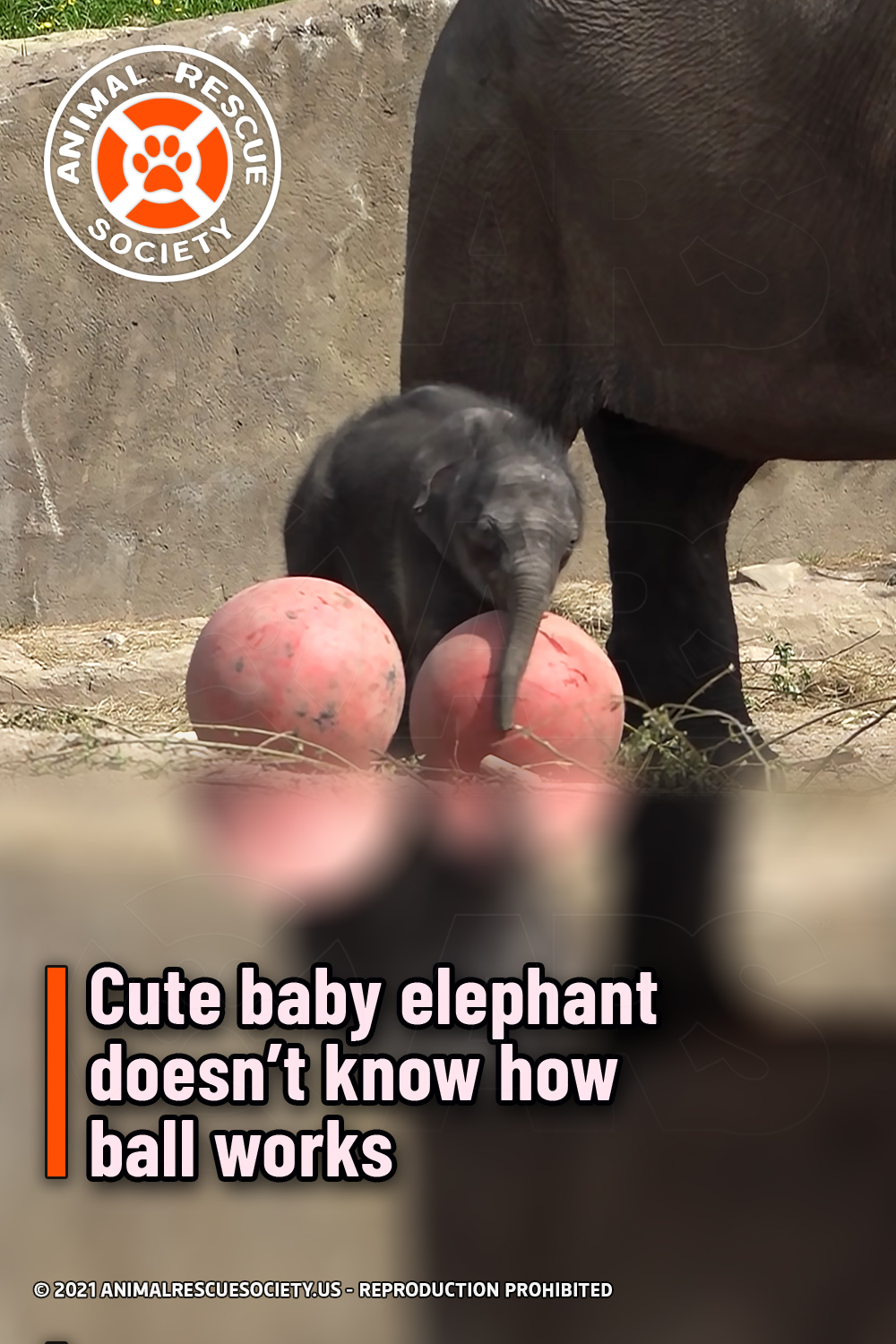 Cute baby elephant doesn't know how ball works