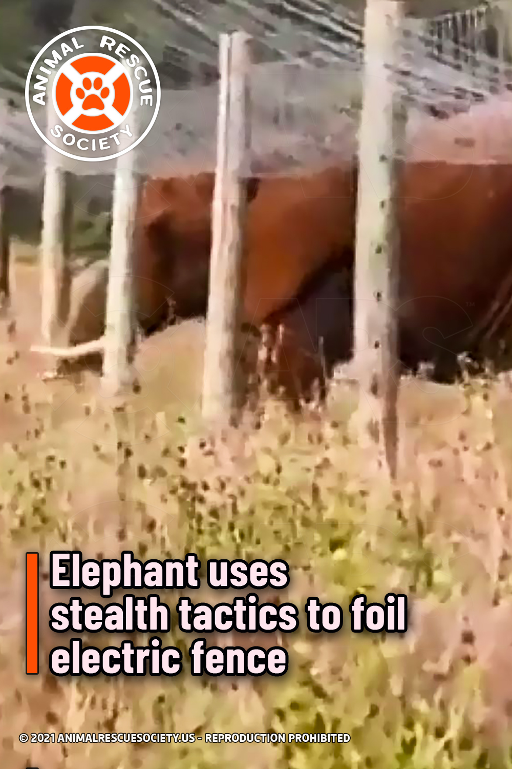 Elephant uses stealth tactics to foil electric fence
