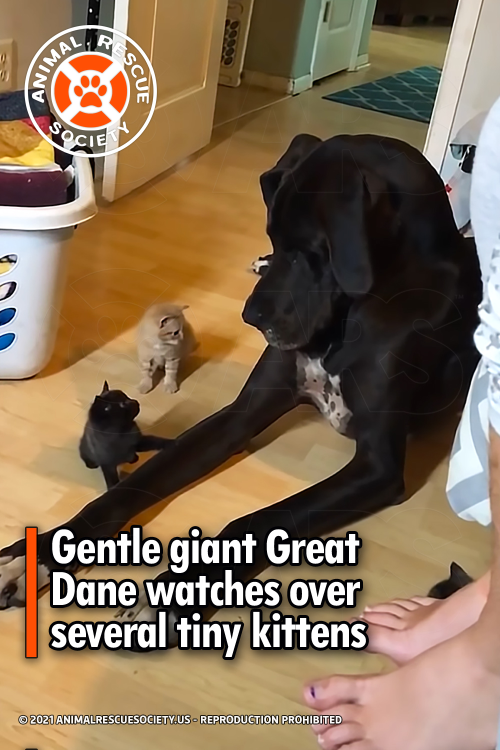Gentle giant Great Dane watches over several tiny kittens