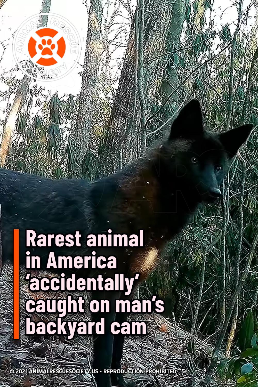 Rarest animal in America 'accidentally' caught on man's backyard cam
