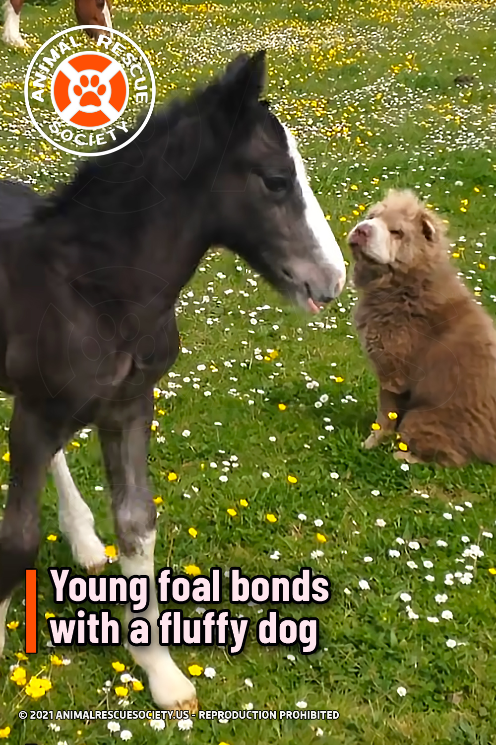 Young foal bonds with a fluffy dog
