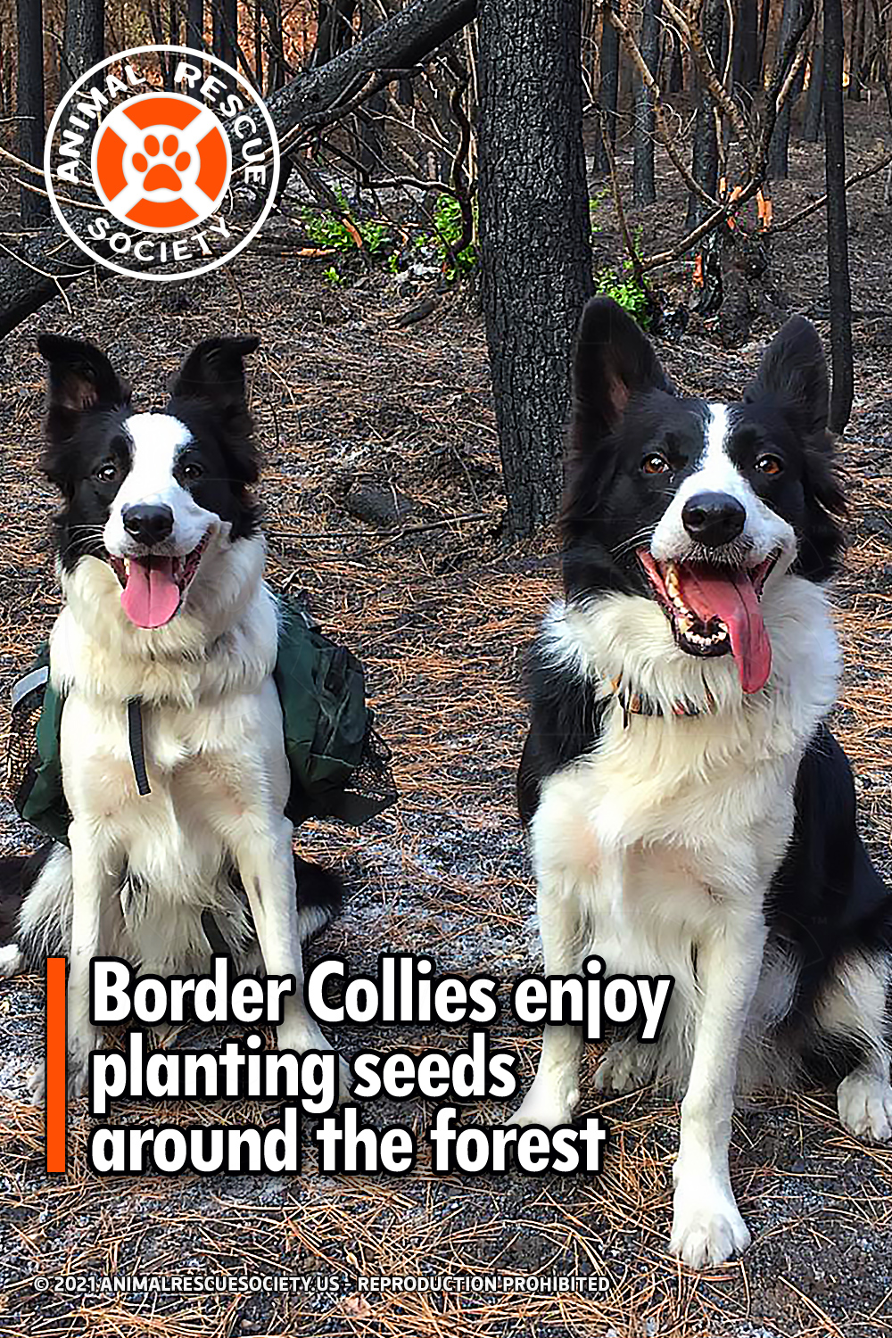Border Collies enjoy planting seeds around the forest