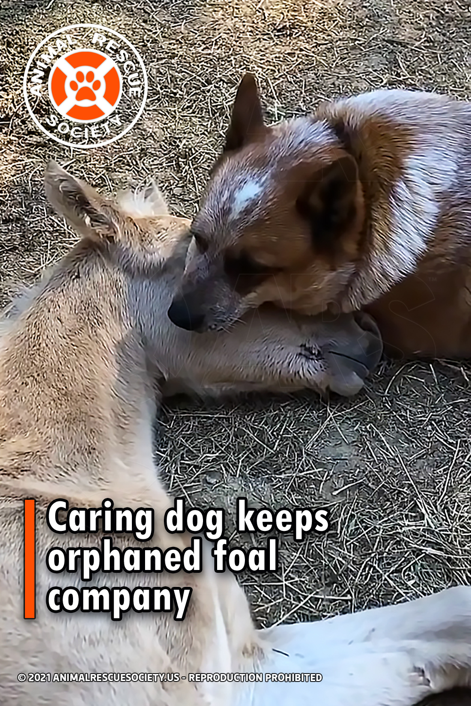 Caring dog keeps orphaned foal company