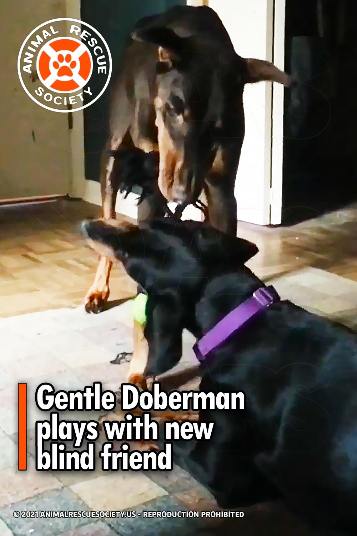 Gentle Doberman plays with new blind friend