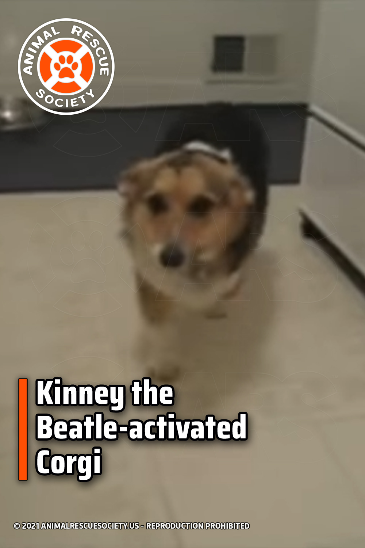 Kinney the Beatle-activated Corgi
