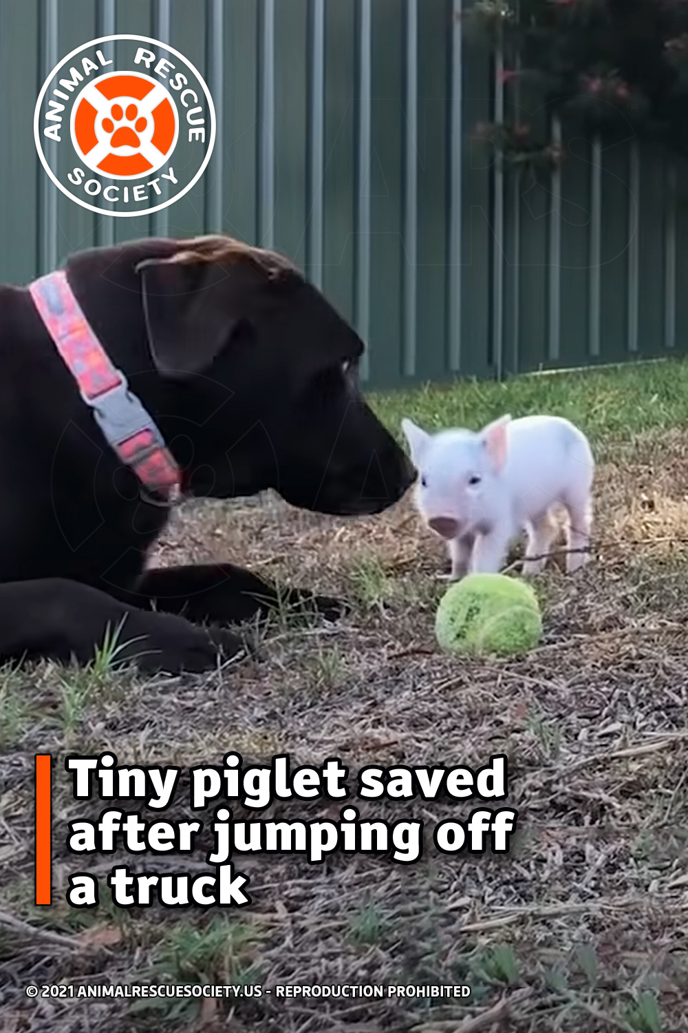 Tiny piglet saved after jumping off a truck